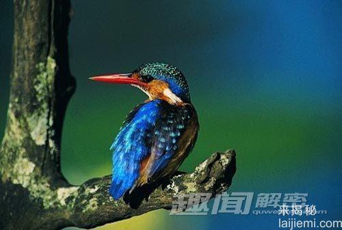 """啄木鸟频繁啄食树木 为何不患""""脑震荡"""""""
