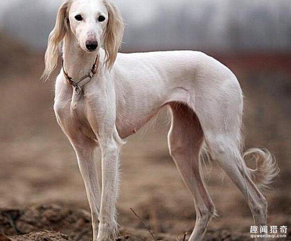 世界上最贵的7种狗,藏敖竟然不是第一!