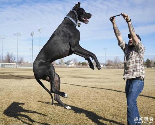 这只大丹犬身高2.1米成世界最高狗!内心却是个爱哭爱撒娇的小公举~