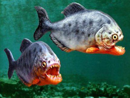 最世界上最恐怖的5种淡水鱼 一不小心同样会要命
