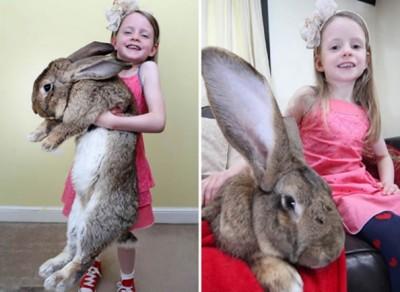 巨型兔子长1.34米 重22公斤 吉尼斯世界纪录保持者