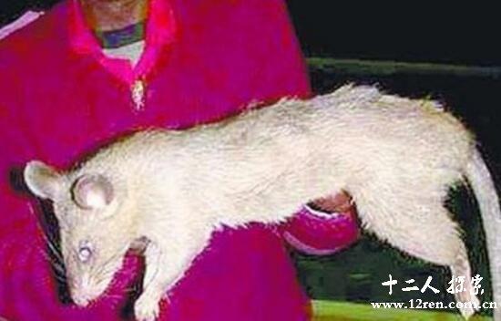切尔诺贝利巨鼠是假的,大如牛羊还会吃人是谣传