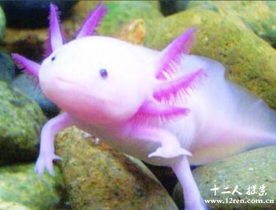 六角龙鱼,世界上最可爱的蝾螈(体长最大43厘米)
