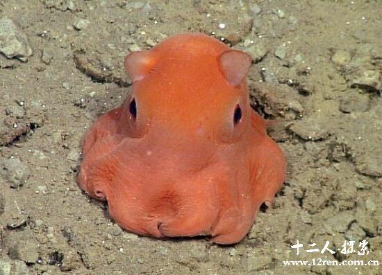 小飞象章鱼,深海中最可爱的生物(用大耳朵游泳)
