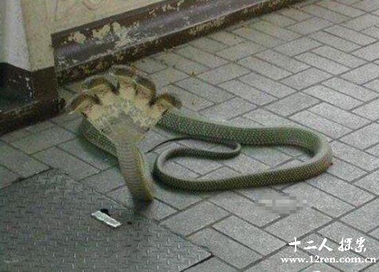 五头蛇是假的,自然界没有找到五头蛇(图为网友PS)