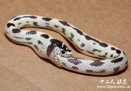环箍蛇,因为无聊咬自己尾巴的生物(不会咬死自己)