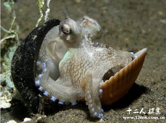 拟态章鱼,海洋中的变色龙(能模仿敌人的样子)