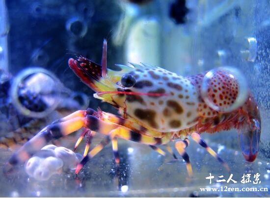 幽灵虾,全身透明能看到内脏(一只卖出20万元)