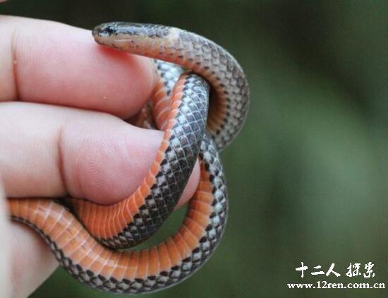 钝尾两头蛇,屁股也是头的神奇物种(长35厘米无毒)