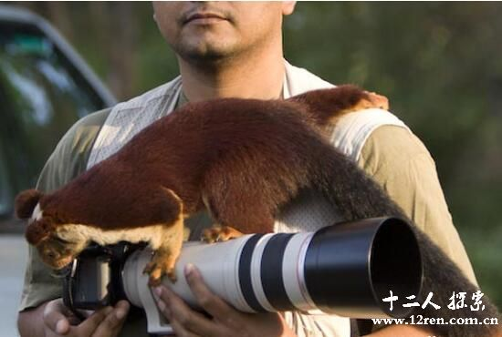 巨松鼠,世界上最大的松鼠(体长100厘米体临近濒危)
