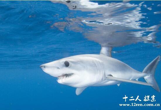 灰鲭鲨,世界上游得最快的鲨鱼(每小时56千米)