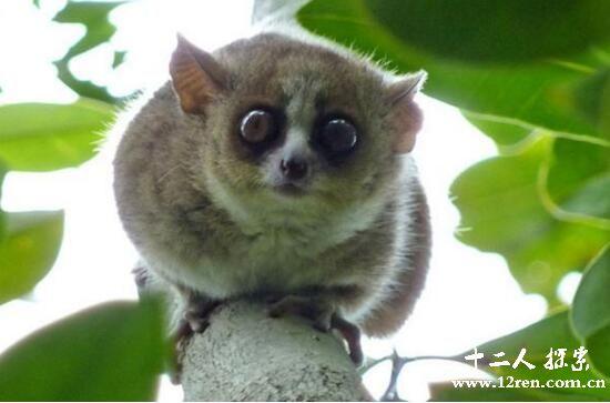 鼠狐猴,世界上最小的哺乳动物(臂力和睾丸都很大)