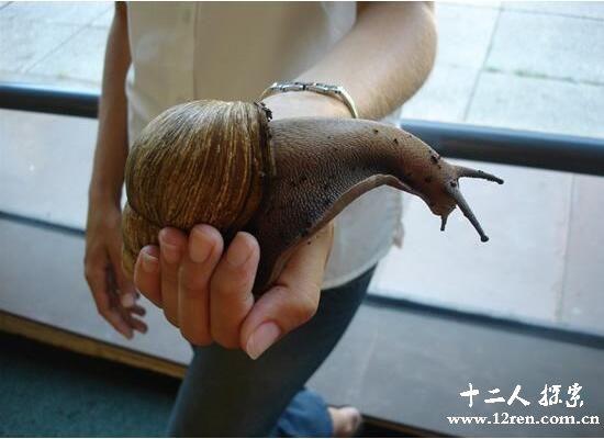 非洲大蜗牛,能吃水泥的外来入侵物种(最大有20厘米)