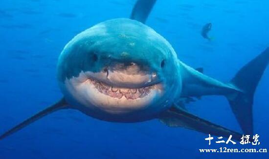 格陵兰鲨,世界上最长寿的鲨鱼(一生能活400岁)
