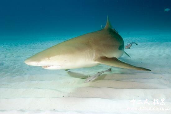 柠檬鲨颜色似柠檬,长相凶狠被当作宠物