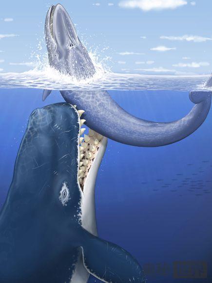 向须鲸展开攻击
