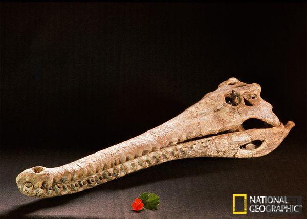 鳄鱼曾为远古人类健脑食品
