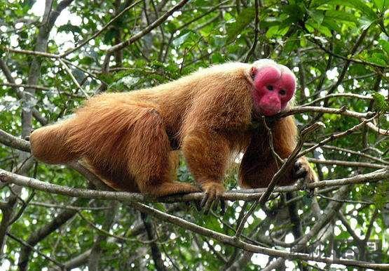 美洲发现新物种红须伶猴