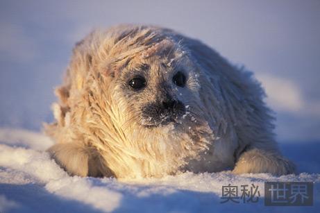雪地上休息的斑纹海豹幼仔