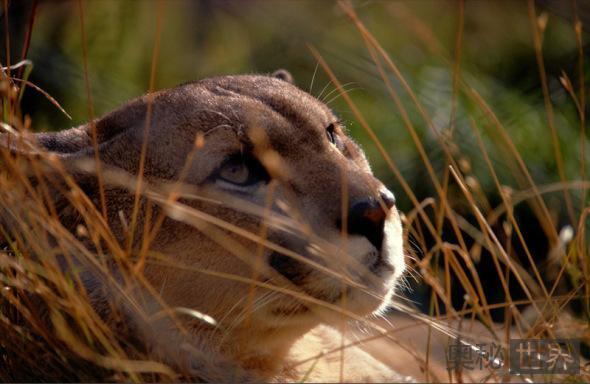 巴塔哥尼亚美洲狮