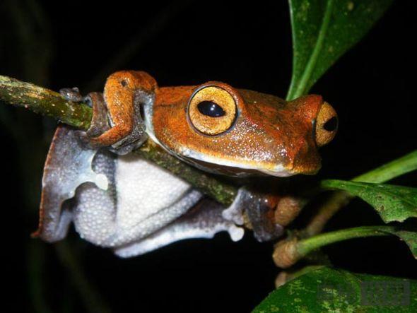 越南发现长有黑色尖牙的吸血飞蛙