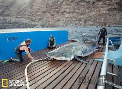 墨西哥捕获世界上最大的大白鲨
