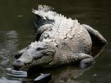 咸水鳄咀嚼力超越霸王龙