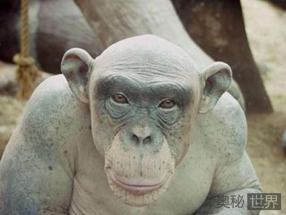 秃毛黑猩猩