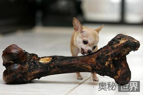 世界上身体最小的狗