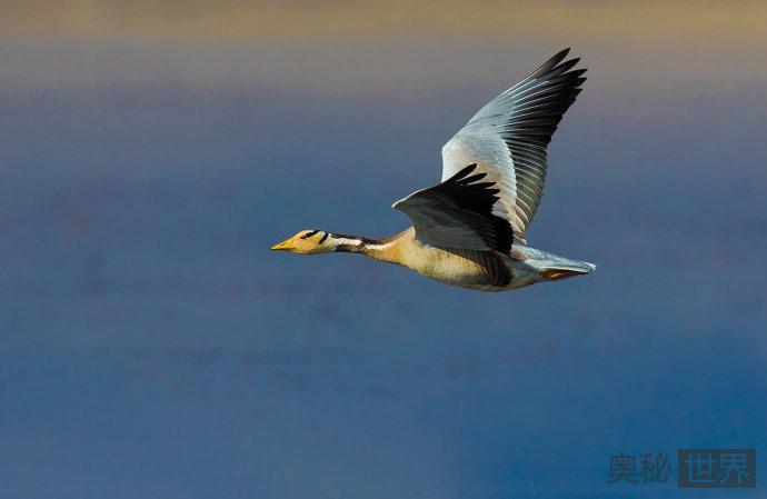 斑头雁:世界上飞得最高的鸟