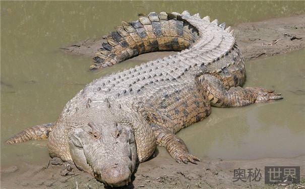 咸水鳄靠冲浪在岛屿间漂流