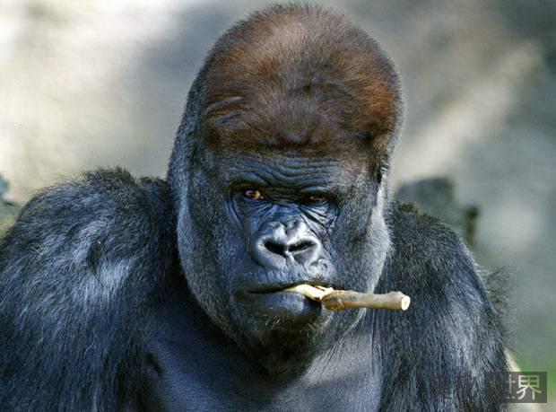 银背大猩猩真的厉害吗,能否与老虎一较高下