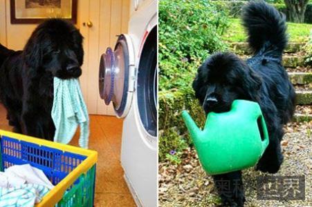 英国聪明小狗能独自洗衣购物