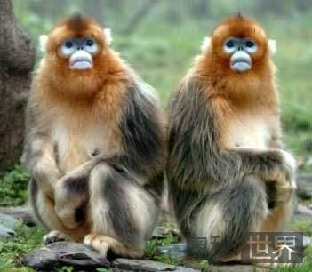 中国专家破译金丝猴的语言