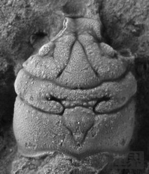 考古发现1.5亿年前无腿螃蟹