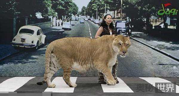 从豹狮兽到狮虎兽,繁殖它们的意义何在?