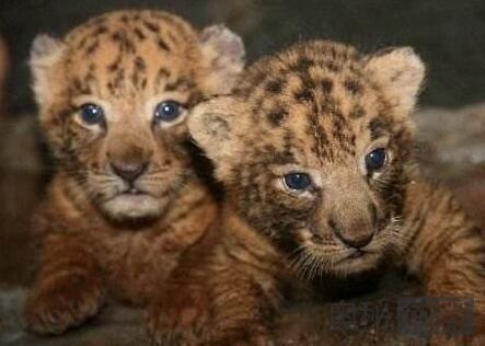 海南成功繁育2只狮虎狮兽 打破不能生育说法
