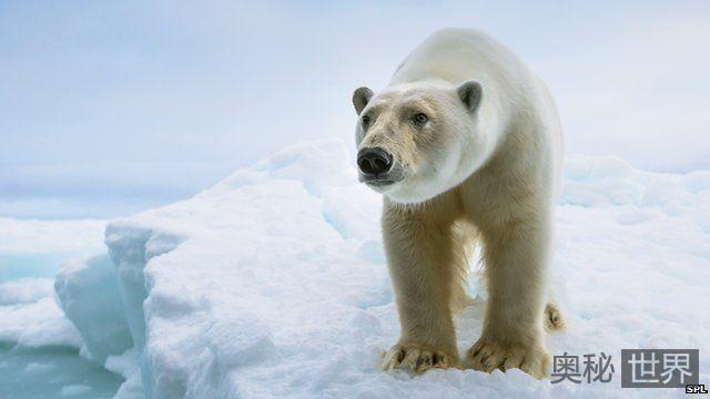北极熊无法适应无海冰环境 或将面临灭绝