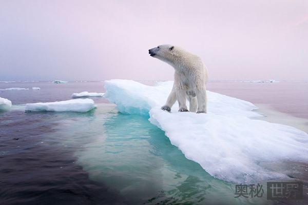 北极熊无法借冬眠摆脱饥饿