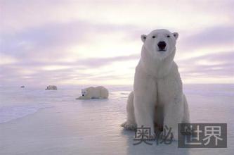 为了保护物种,把北极熊运到南极可行吗