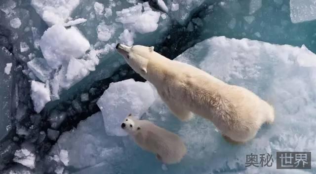 北极熊为什么不怕冷