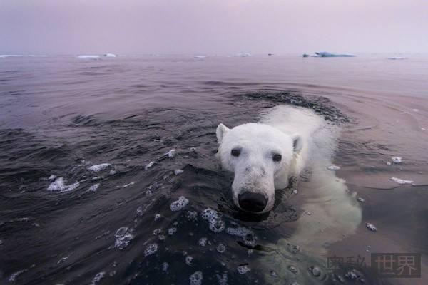 北极熊从吃海豹到吃草,今后还会吃什么