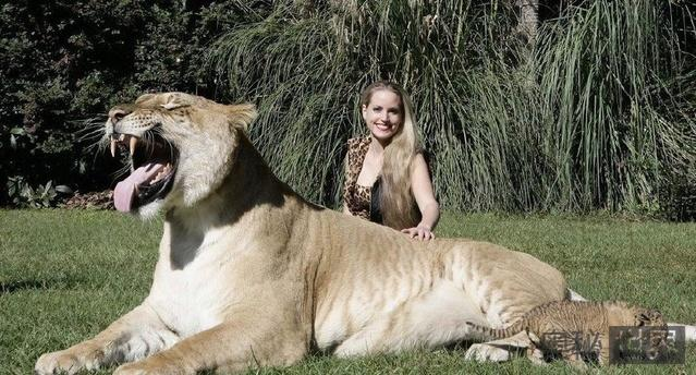 世界上最大的狮虎兽