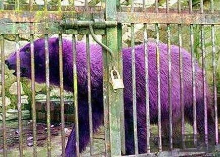 紫色北极熊是真的吗?