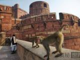 猴子敢偷国宝,在印度肆无忌惮的动物们