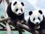 大熊猫仍具有较高进化潜力