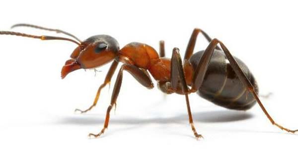 动物行刑:蚂蚁刑
