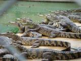 鳄鱼吃人事件:遭遇鳄鱼群,1000多名日军全部被咬死