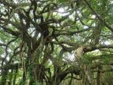 吃人树奠柏之谜,爪哇食人树奠柏是真的吗?