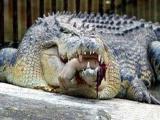 鳄鱼吃人事件:美国杀人鳄袭击女学生